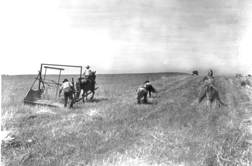 Harvesting wheat in the midwest 1870s